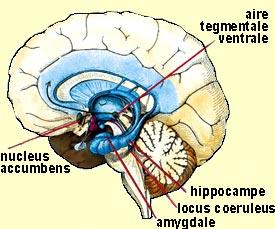 Cerveau et addiction Cervoda