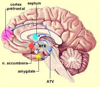 Cerveau et addiction Mfb